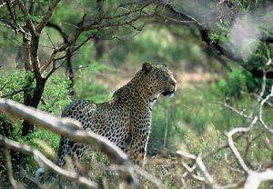 general-leopardstanding